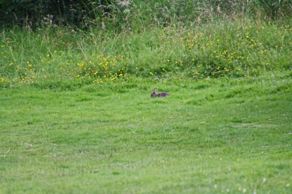 Rabbit in the Field, Lewis Castle grounds, Stornoway, Isle of Lewis. © J. Lynn Stapleton, 31st July 2013