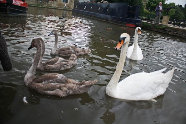 Swans and ducks in the canal, Skipton, UK. © J. Lynn Stapleton, 24th July 2013