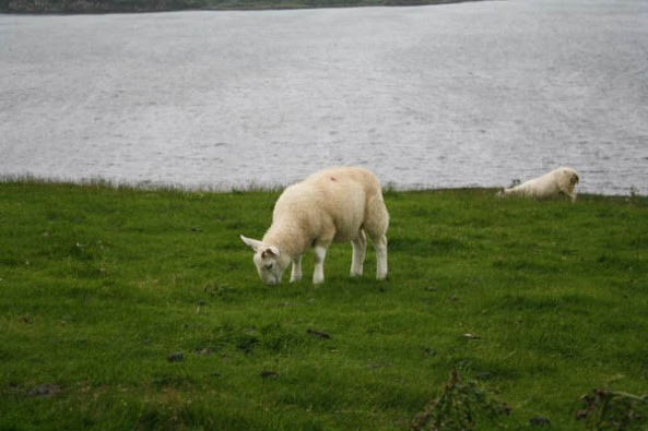 Grazing Sheep, Loch Harport, Isle of Skye. © J. Lynn Stapleton, 3rd August 2013